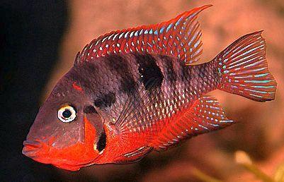Firemouth Cichlids