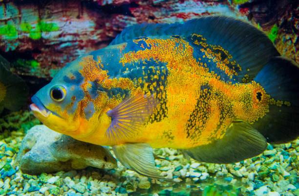 blue oscar fish