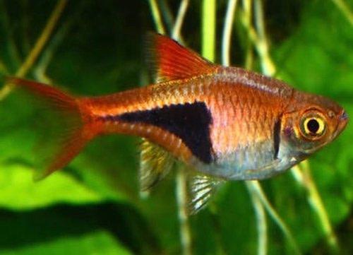 Harlequin Rasbora - tropical fish for beginners