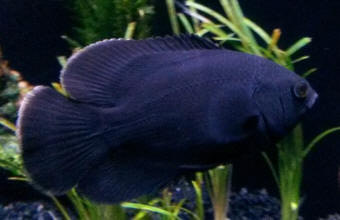 black oscar fish