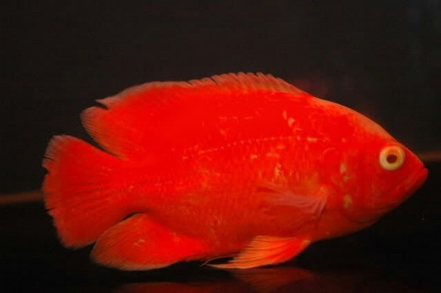 red oscar