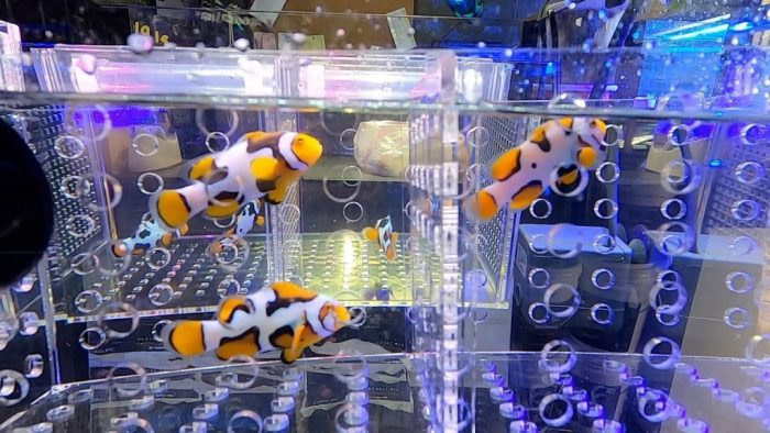 Designer Clownfish